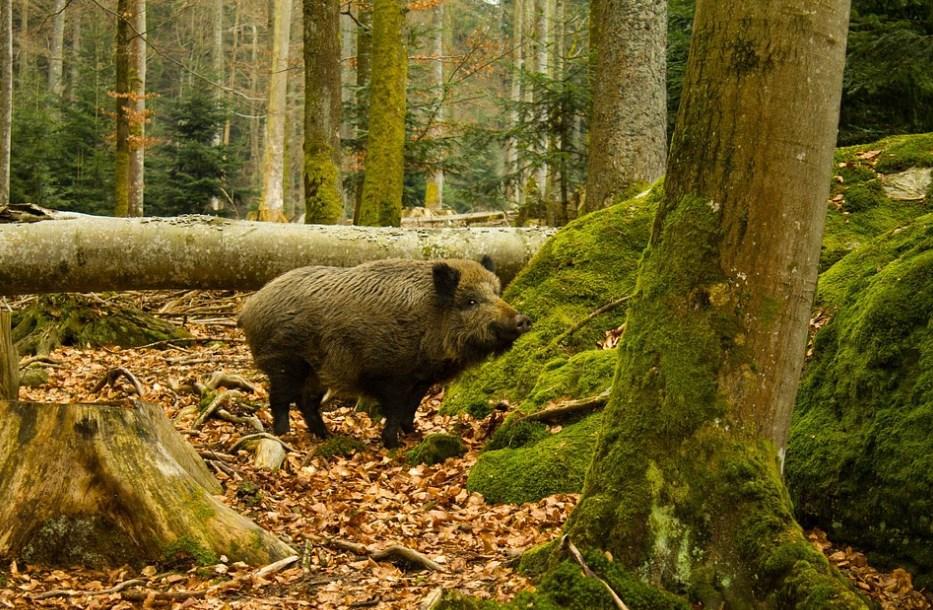 Животные: интересные факты о кабанах