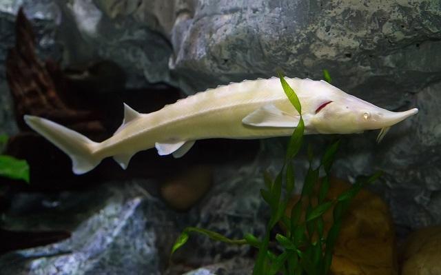 Стерляди-альбиносы переехали в Приморский океанариум