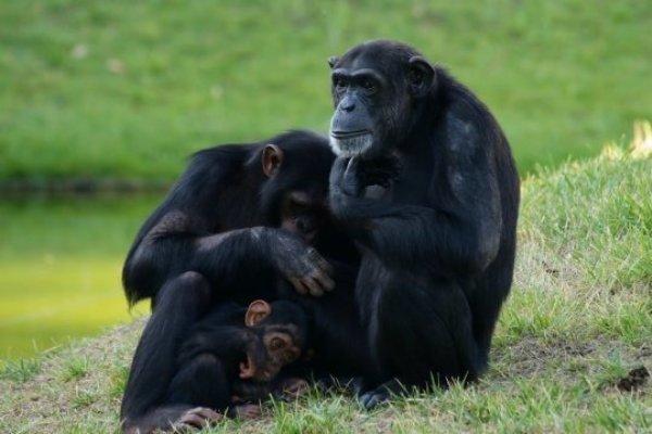 Как жесты позволяют ученым проникнуть внутрь головы шимпанзе