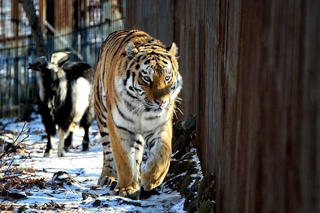 Генеральная прокуратура проверит передачу тигра Амура в зоопарк