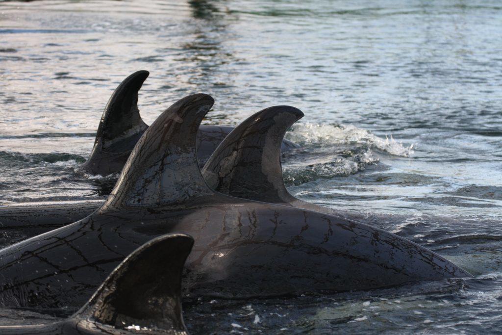 Передача косаток и белух в китайский дельфинарий приостановлена