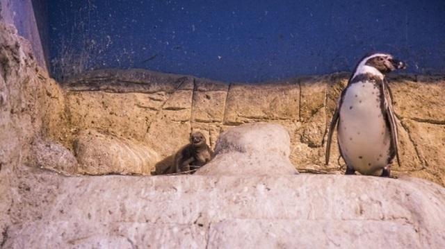 В Московском зоопарке родились пингвинята