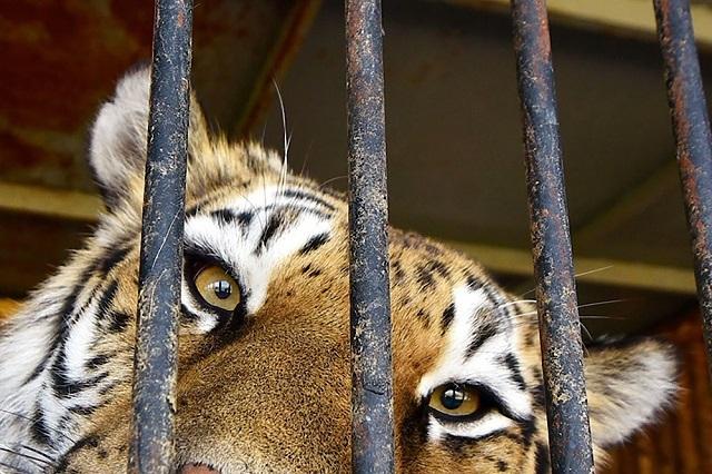 В Техасе мужчина столкнулся с тигрицей в гараже заброшенного дома