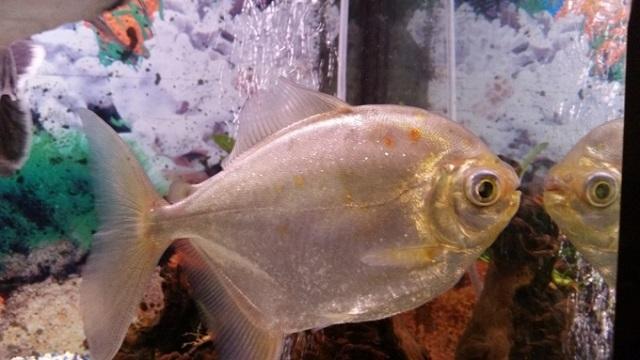 Рыбы продемонстрировали способность узнавать себя в зеркале
