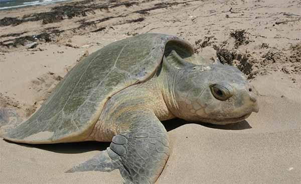 Мусор мешал черепахам откладывать яйца. Волонтеры помогли...