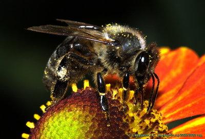 Wi-Fi снижает способность пчел к опылению растений