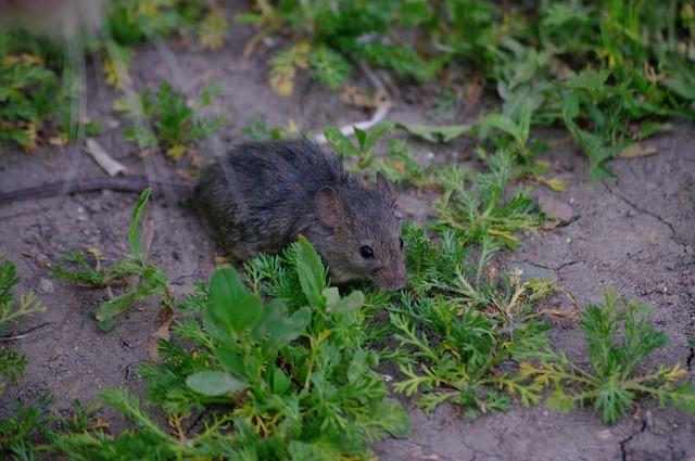 В Австралии из-за пожаров полностью исчезли дымчатые ложные мыши