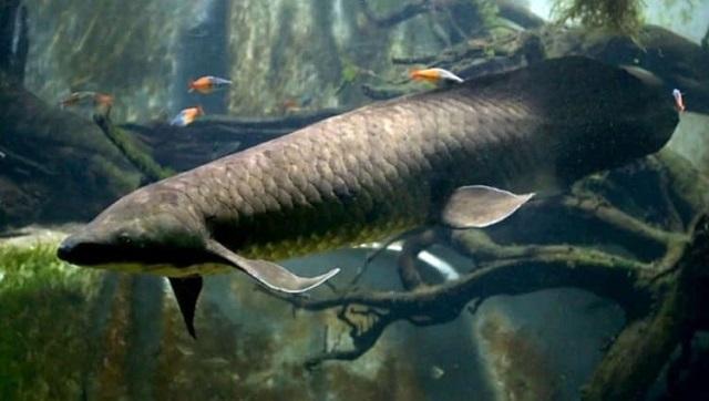 Старейшая рыба, живущая в неволе отметила 90-летие