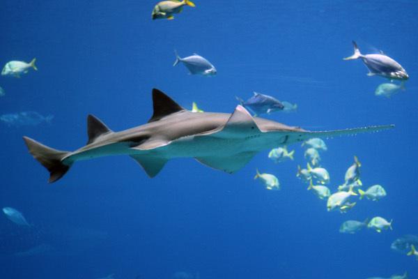 В водах Мадагаскара обнаружили два новых вида пилоносых акул