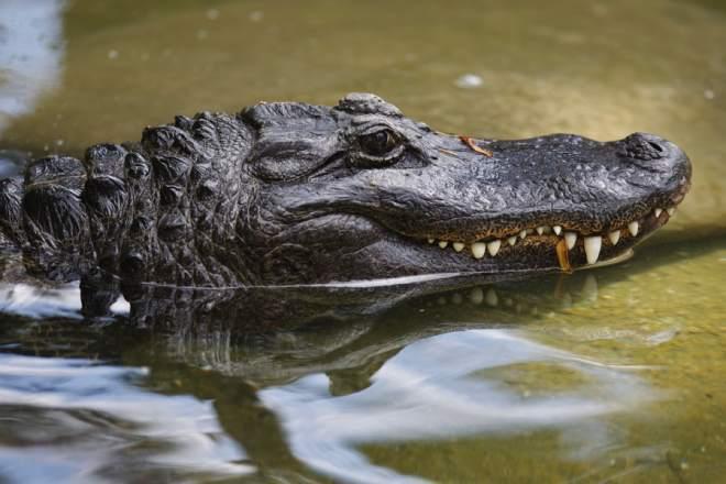 От опасных инфекций человечество спасут крокодилы