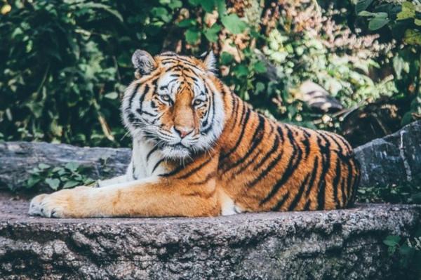 В зоопарке Нью-Йорка тигрица заразилась коронавирусом