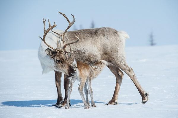 На Шпицбергене погибли свыше 200 северных оленей