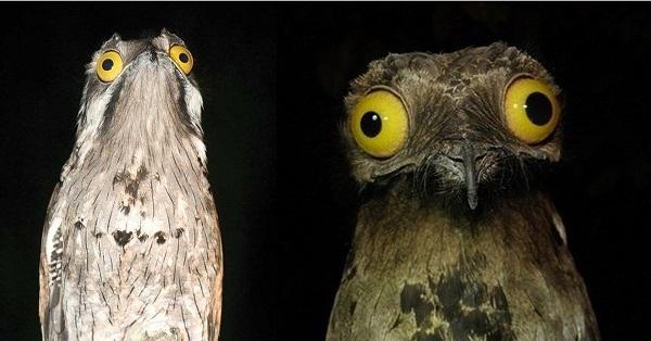 Венесуэльская птичка поту строит глазки лучше, чем звезды