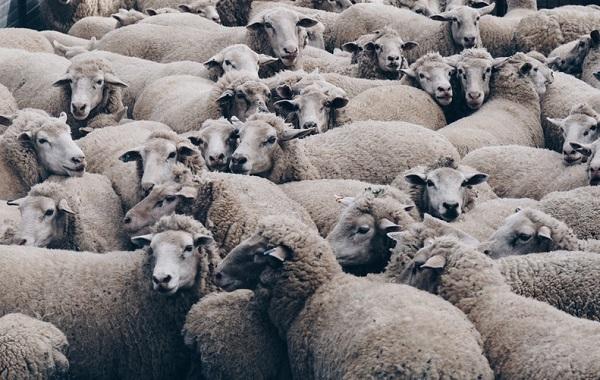 На Украине волонтеры спасли овец
