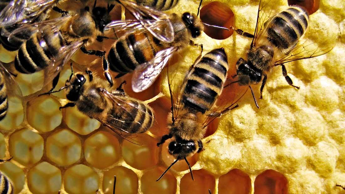 Пчелиный апокалипсис