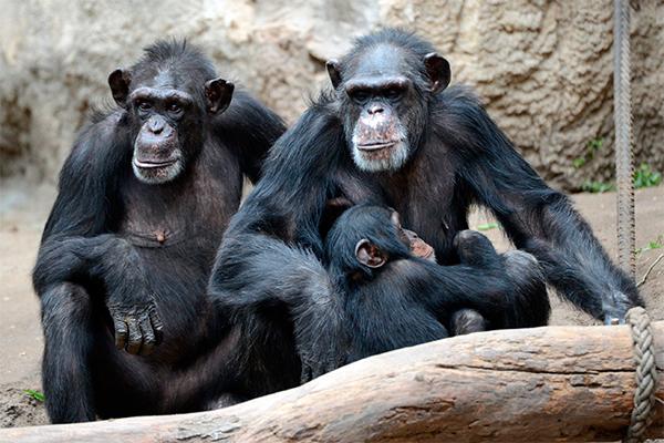 Как из обезьяны хотели сделать человека