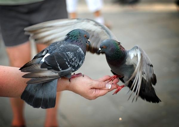 В Магадане отклонили предложение о запрете кормления голубей