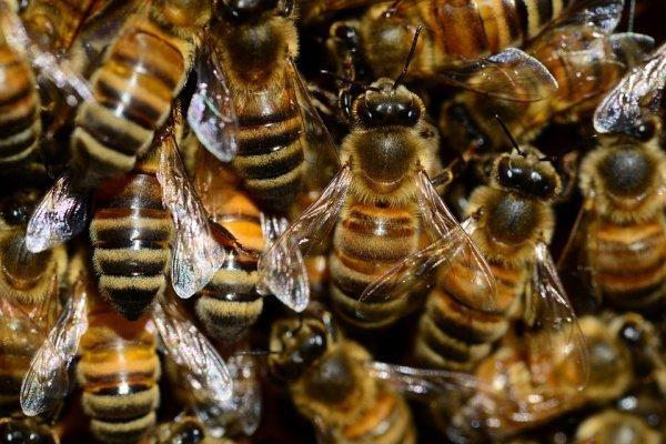 В Минсельхозе рассказали о гибели почти 40 тысяч пчелосемей