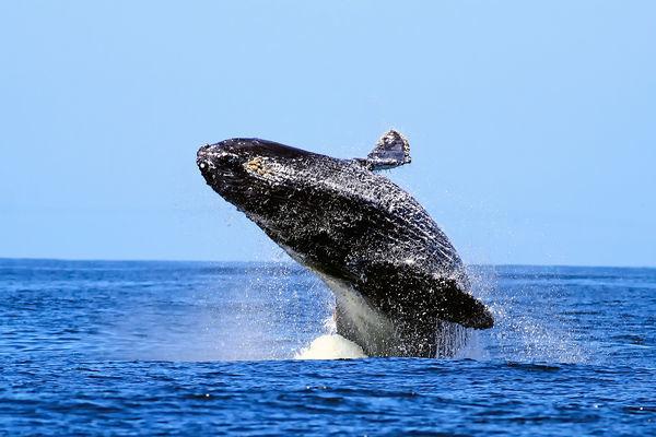 Эти удивительные голубые киты