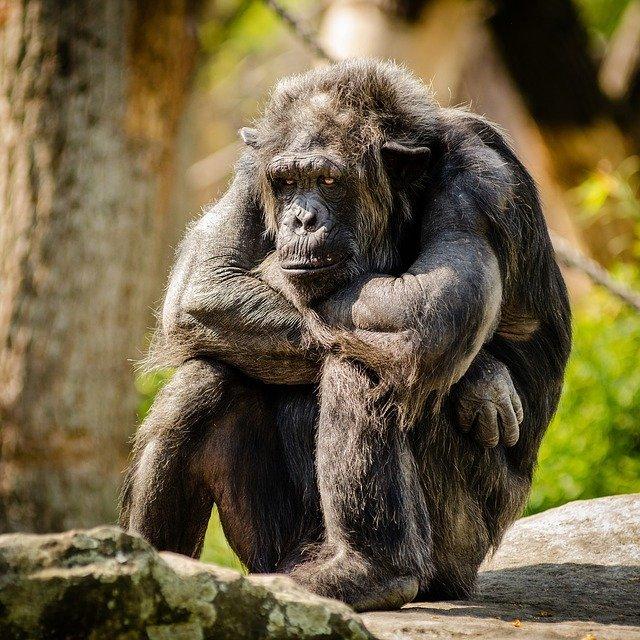 Зоологи: седина у шимпанзе не является признаком старости