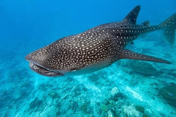 У израильского побережья Красного моря были замечены китовые акулы впервые за год