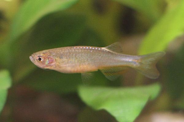 Биологи выяснили, как у рыб данио образуются полосы