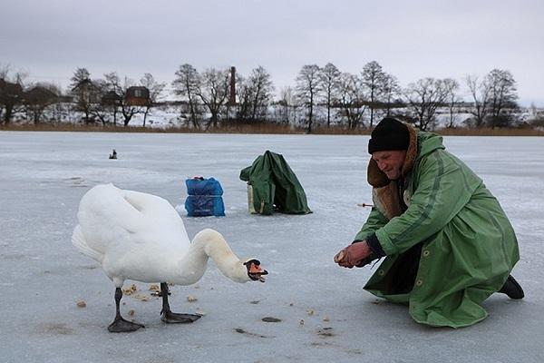 Рыбак из Витебска подружился с лебедем