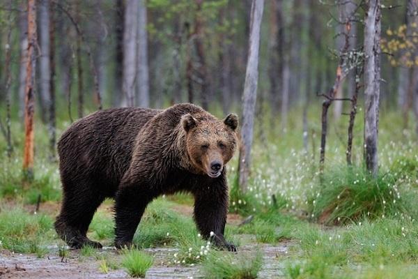 Медведей на Дальнем Востоке стало больше