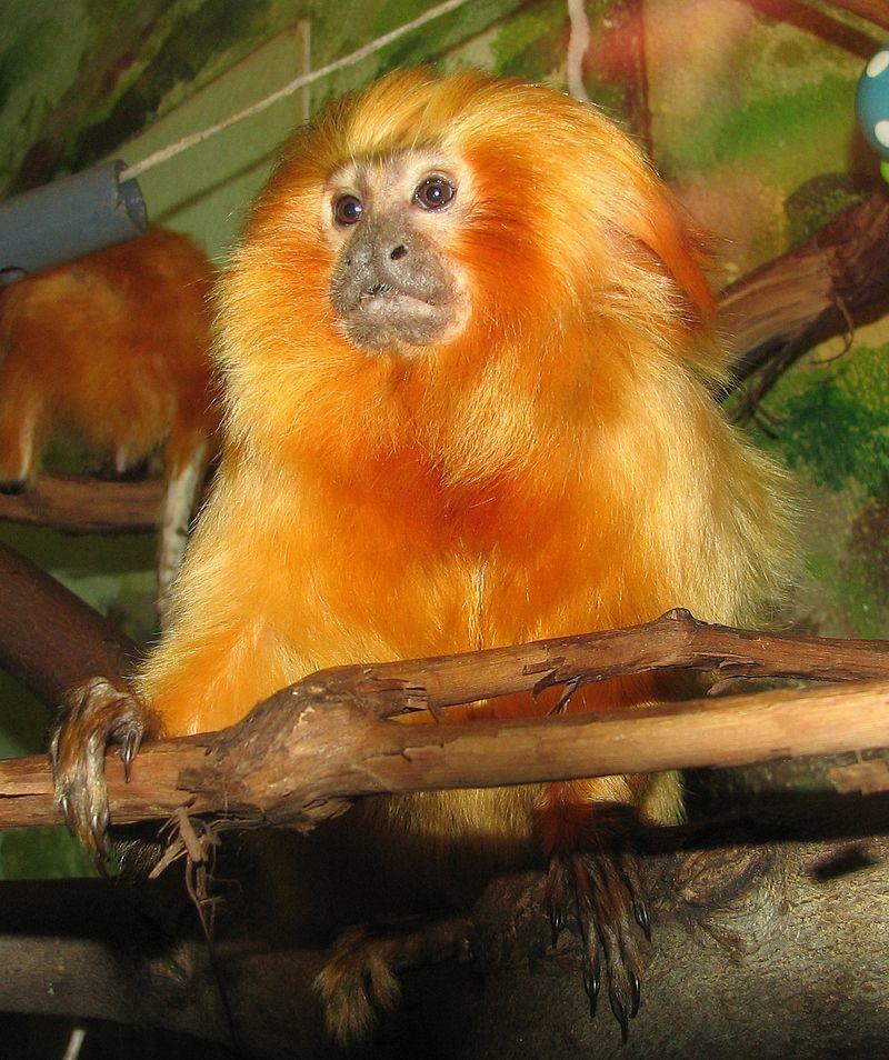 Зоологи: обезьяны тоже могут ходить на