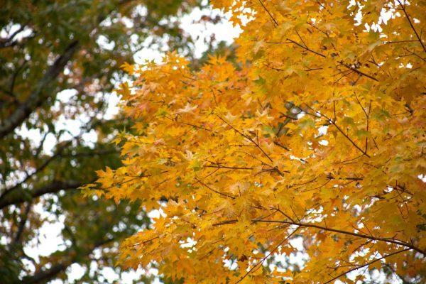 В Центральном парке Воронежа листья кленов покрылись желтыми пятнами