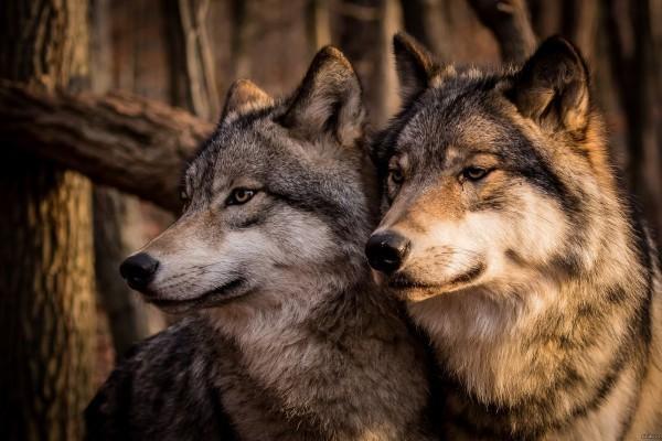 Волки острова Ройял в Мичигане открывают новые данные об отношениях хищник-жертва