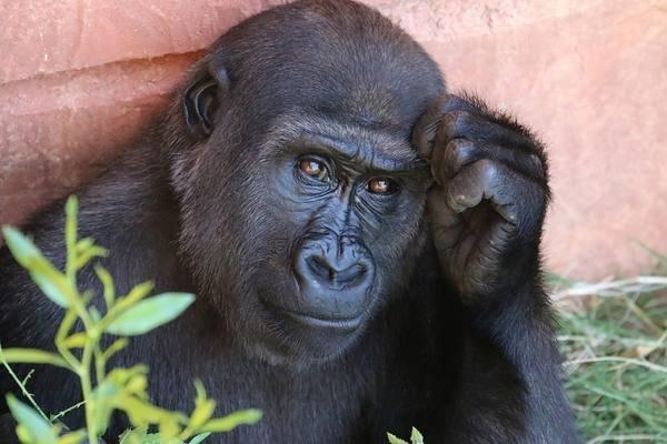 Если люди эволюционировали от обезьян, почему обезьяны все еще существуют?