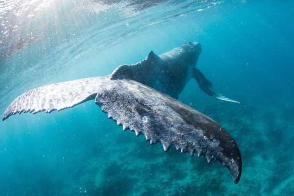 Горбатые киты стали меньше