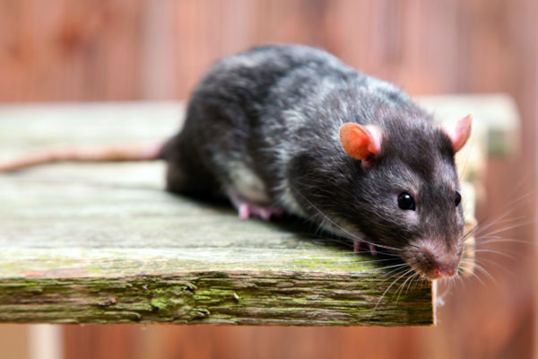 Крысы платят добром за добро даже неживым объектам