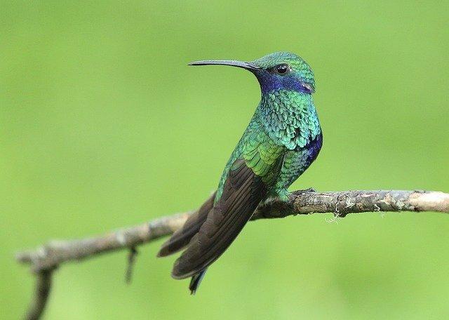 Биологи раскрыли секрет выживания горных колибри в холодные ночи