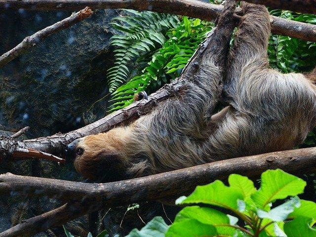 Бурогорлые ленивцы начали вести активный образ жизни - биологи