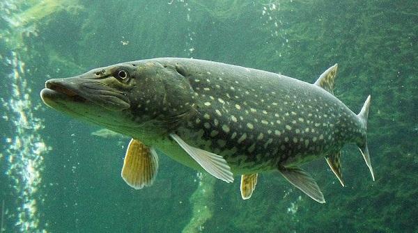 Питерский рыбак кое-как справился с огромной щукой