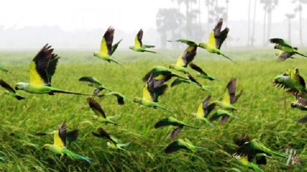 Попугаи атакуют маковые поля фермеров