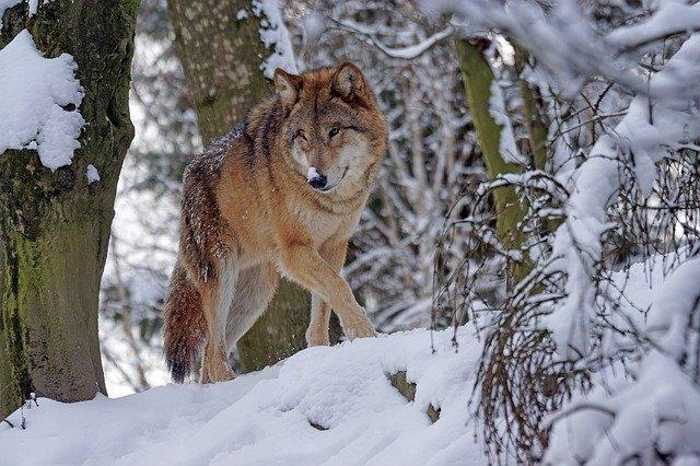 Тамбовские волки находятся на грани исчезновения