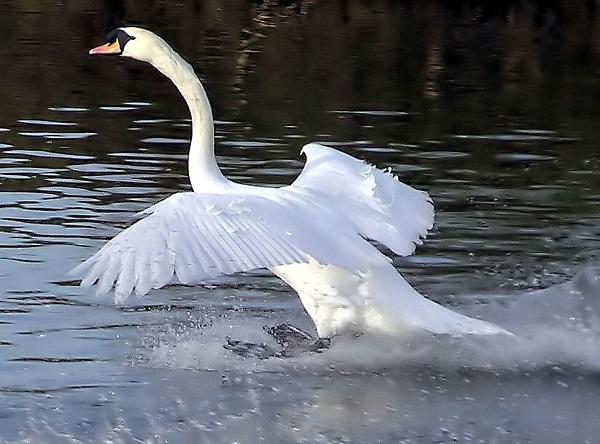 Выпущенный на свободу дикий лебедь захотел вернуться к своему спасителю