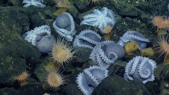 В Калифорнии обнаружили логово 1000 осьминогов