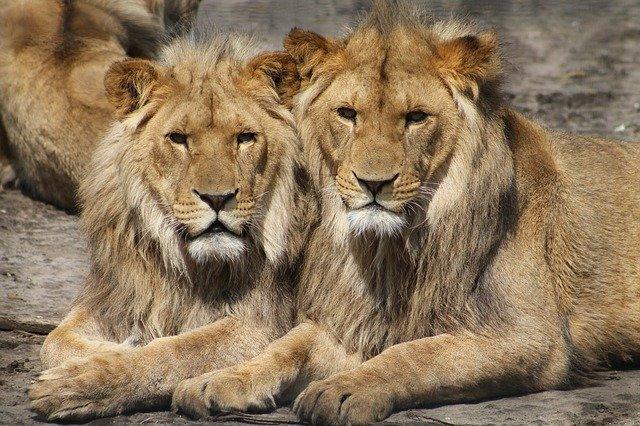 У львов в зоопарке Барселоны обнаружили COVID-19