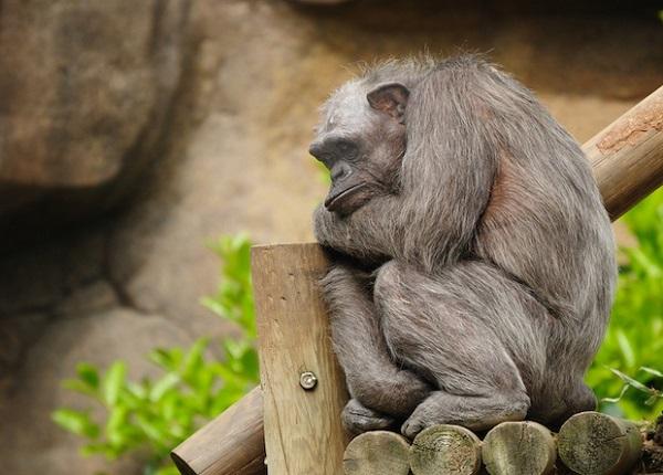 Чем ближе к человеку, тем меньше дел умеют делать обезьяны