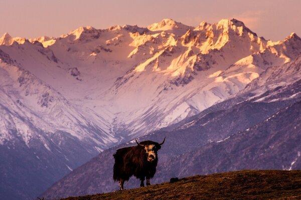 Тибетские яки-самки собираются в огромные группы, но самцы к ним не допускаются - ученые