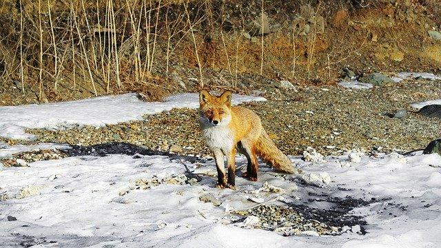 На улицах Петербурга стали чаще появляться лисы