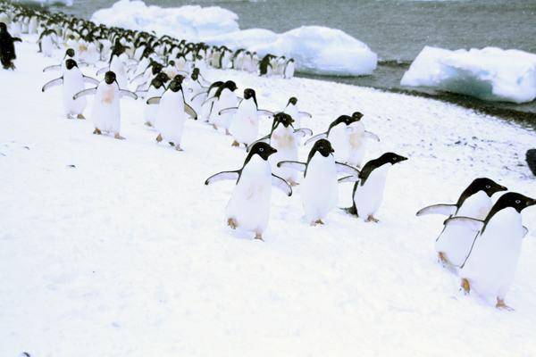 Ученые отслеживают колонии пингвинов по их пометам из космоса