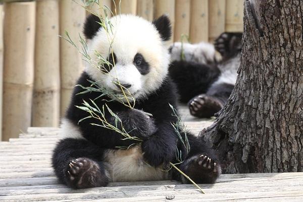 Новое открытие ученых: панды не всегда ели только бамбук