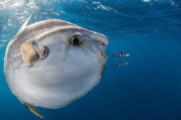 Трехметровая рыба-луна производит 300 млн пелагических икринок и приносит несчастье