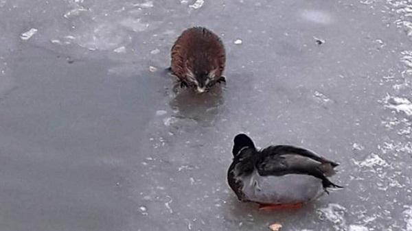 От ондатры в Кудрове откупаются арахисом