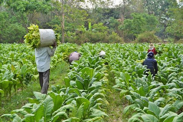 Сегодня - табачное поле, завтра - солнечная ферма